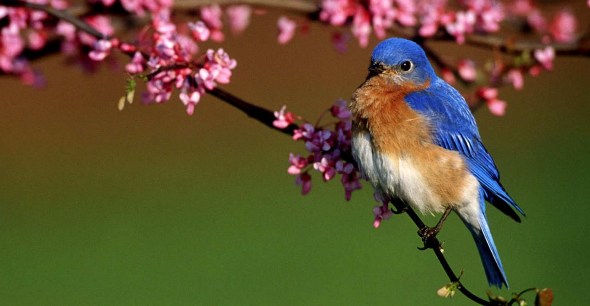 Bluebird Box Monitor Needed in Northampton County, Virginia
